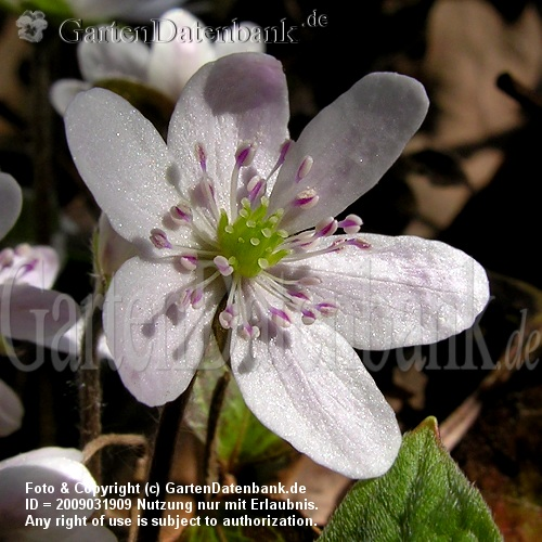 Hepatica nobilis 'Alba' Leberblmchen wei.