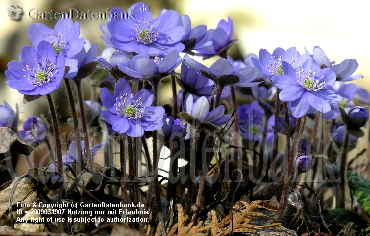 Leberblmchen (Hepatica nobilis)