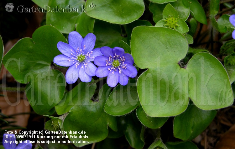 Leberblmchen (Hepatica nobilis) Blten und Bltter, leberfrmig (Name!).