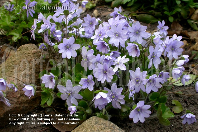 Leberblmchen (Hepatica nobilis): Viele Blten in grerer Gruppe.