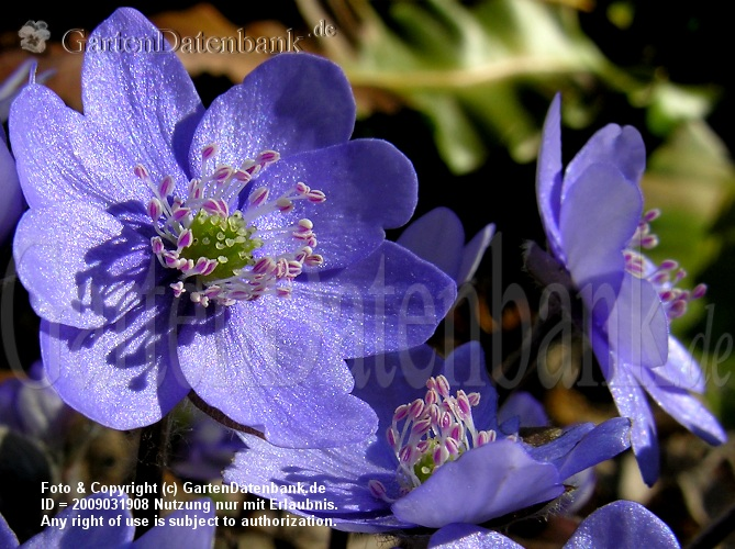 Leberblmchen (Hepatica nobilis) Blte blau, ganz nah.