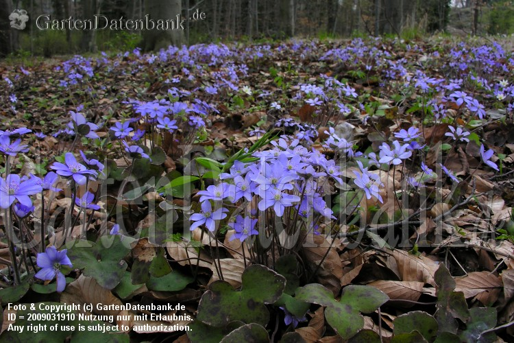 Leberblmchen (Hepatica nobilis) Massenbestnde.