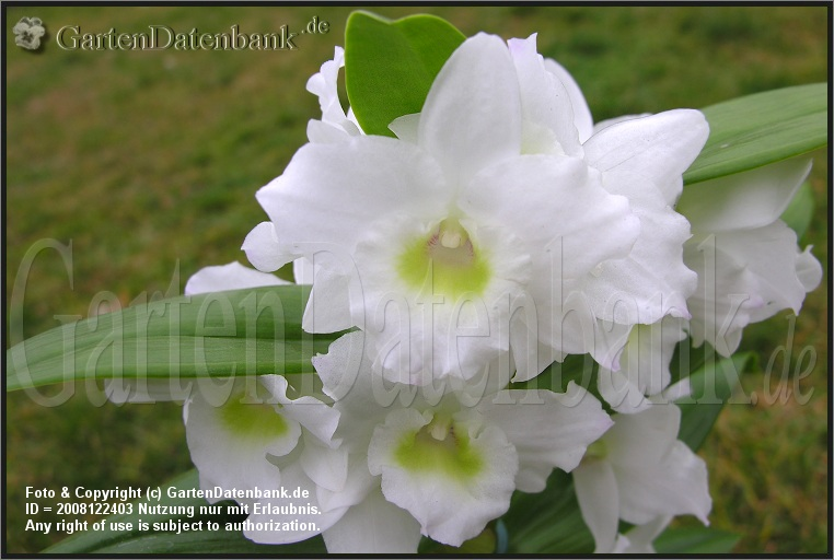 dendrobium orchideen pflege als zimmerpflanze zimmerorchidee berwintern bilder fotos. Black Bedroom Furniture Sets. Home Design Ideas