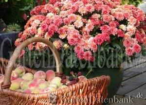 herbstaster herbstchrysantheme winteraster dendranthema zuchtsorten schneiden pflege pflanzen. Black Bedroom Furniture Sets. Home Design Ideas