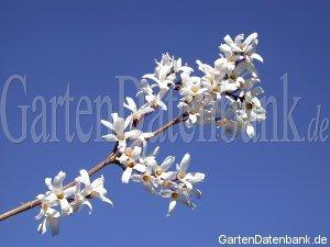 schneeforsythie abeliophyllum distichum schneiden pflege pflanzen bilder fotos garten. Black Bedroom Furniture Sets. Home Design Ideas