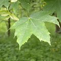 Acer platanoides Herbst