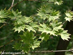 acer palmatum f cherahorn japanischer ahorn acer palmatum schneiden pflege pflanzen bilder. Black Bedroom Furniture Sets. Home Design Ideas