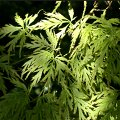 Search_category.htm?q=acer+palmatum+dissectum  Acer