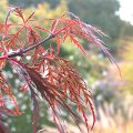 Search_category.htm?q=acer+palmatum+dissectum+atropurpureum  Acer