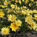 Pflanzen blumen gelbe chrysanthemen picture