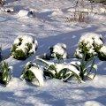 Lauch winterlauch allium porrum habitus im schnee dezember