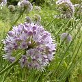Allium senescens Rote Bl�ten