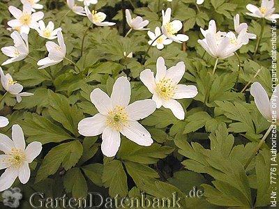 wildpflanzen lexikon 1200 arten mit bild infos heimische wildblumen wiesenblumen. Black Bedroom Furniture Sets. Home Design Ideas