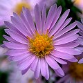Aster ericoides Herbst