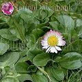 Bellis  Asteraceae