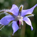Borago officinalis Blaue Bl�ten