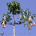 Brugmansia 1 Infos Engelstrompete Rot