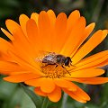 Calendula officinalis Rote Bl�ten