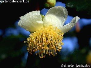 gr ner tee teestrauch teepflanze ziehdauer tipps camellia sinensis schneiden pflege pflanzen. Black Bedroom Furniture Sets. Home Design Ideas