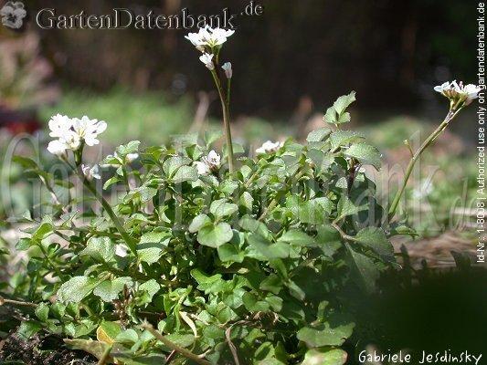 Wuchsform habitus blüten blätter
