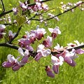 Cercis occidentalis Schmetterlingsbl�tler