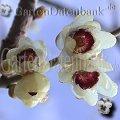 Frühblüher Sträucher Chinesische Winterblüte Chimonanthus praecox Naturweiße Blüten von unten.