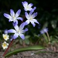 Chionodoxa luciliae April