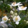 Orangenblume (Choisya ternata) weiße Blüten