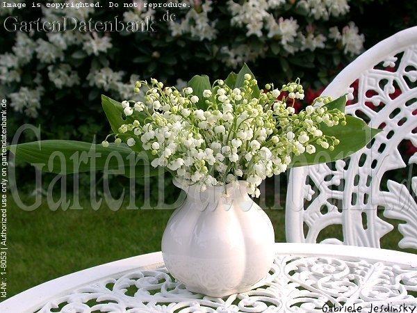 maigl ckchen bilder fotos convallaria majalis bild mit infos. Black Bedroom Furniture Sets. Home Design Ideas