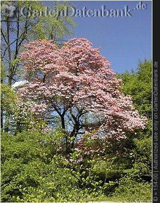 Bild Amerikanischer Blumenhartriegel Cornus Florida Foto Fo Rubra