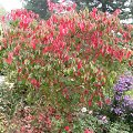 Trips xx_Mainau_Geh�lzsch�tze Hartriegelstrauch mit roter Herbstf�rbung in Pa......