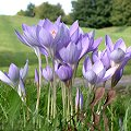 Crocus speciosus Blaue Bl�ten