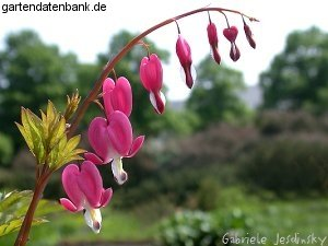 tr nendes herz dicentra spectabilis schneiden pflege pflanzen bilder fotos garten. Black Bedroom Furniture Sets. Home Design Ideas