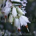 Frühblüher Schneeheide Erica carnea Weiße Blüte mit Eiskristallen, Raureif.