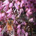 Frühblüher Sträucher Schneeheide Erica carnea Rosa Blüten mit Biene