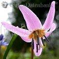 Frühblüher Hundszahn Erythronium dens-canis Rosa Blüte ganz nah.