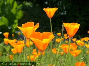 goldmohn eschscholzia californica schneiden pflege pflanzen bilder fotos garten. Black Bedroom Furniture Sets. Home Design Ideas