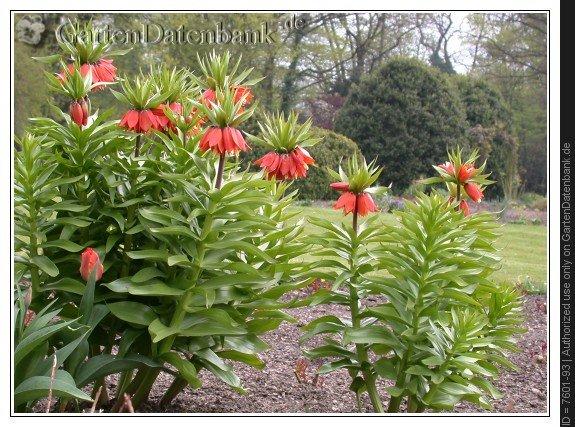 bild kaiserkrone fritillaria imperialis foto pflanzen mit. Black Bedroom Furniture Sets. Home Design Ideas