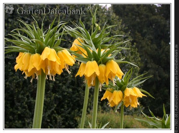 bild kaiserkrone fritillaria imperialis foto 39 lutea 39 goldgelbe bl ten. Black Bedroom Furniture Sets. Home Design Ideas