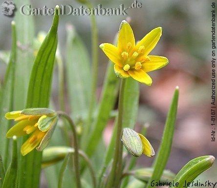Goldstern gelbstern gagea 1 infos gagea lutea waldgoldstern blüten