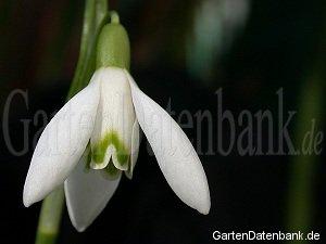 schneegl ckchen giftig pflege vermehren pflanzen galanthus nivalis schneiden pflege. Black Bedroom Furniture Sets. Home Design Ideas