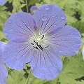 Geranium himalayense Blaue Bl�ten
