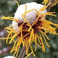 Zaubernuss Hamamelis 'Jelena', orangegelbe Blüten mit Schnee.