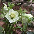 Helleborus orientalis April