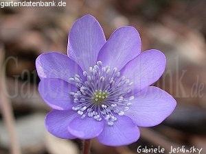 leberbl mchen pflege hepatica nobilis syn anemone hepatica h triloba schneiden pflege. Black Bedroom Furniture Sets. Home Design Ideas