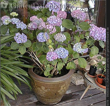 bild hortensie bauernhortensie hydrangea macrophylla foto zuchtsorte wuchsform im k bel. Black Bedroom Furniture Sets. Home Design Ideas