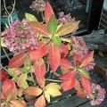 hortensie blau f rben pflege schneiden vermehren hortensien stecklinge hydrangea macrophylla. Black Bedroom Furniture Sets. Home Design Ideas
