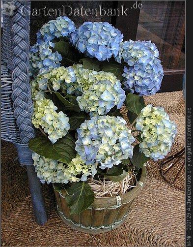 bild hortensie bauernhortensie hydrangea macrophylla. Black Bedroom Furniture Sets. Home Design Ideas