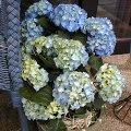 hortensie blau f rben pflege schneiden vermehren. Black Bedroom Furniture Sets. Home Design Ideas