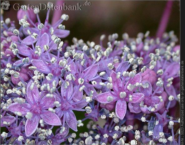bild hortensie bauernhortensie hydrangea macrophylla foto viele kleine bl ten tellerhortensie. Black Bedroom Furniture Sets. Home Design Ideas